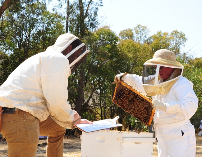 Sonoma County Beekeepers' Association president Cheryl Veretto (right) demonstrates her skills at a California Master Beekeeper Program testing at the Harry H. Laidlaw Jr. Honey Bee Research Facility, to Laidlaw manager and proctor Charley Nye. (Photo by Kathy Keatley Garvey)