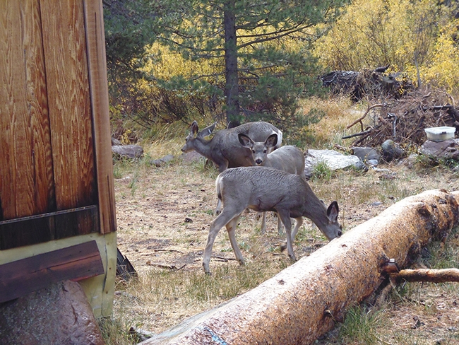 Oh, deer! Deer showed up at the Sagehen Creek Field Station campsite. (Photo by Sandy Olkowski)