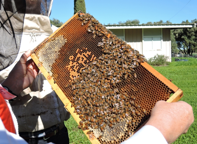 Examining a frame during a class at the Harry H. Laidlaw Jr. Honey Bee Research Facility. (Photo by Kathy Keatley Garvey)