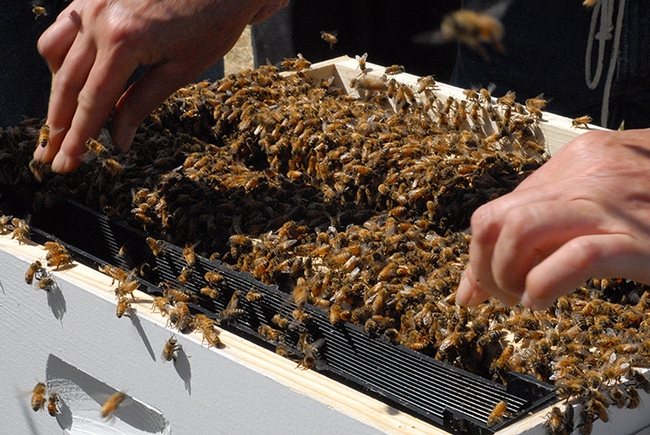 The Western Apicultural Society, founded at UC Davis, will return to its birthright site Sept. 5-8. Here a beekeeper gets ready to lift a frame from a hive. (Photo by Kathy Keatley Garvey)