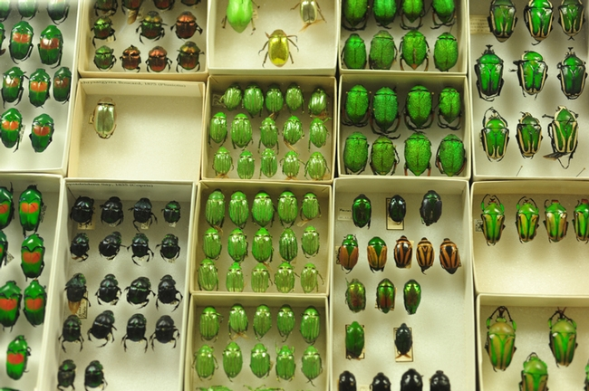 How green are the insect specimens at the Bohart Museum of Entomology. (Photo by Kathy Keatley Garvey)