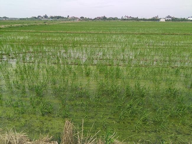 Rice field in Hangzhou in the Zhejiang Province. (Photo by Christian Nansen)