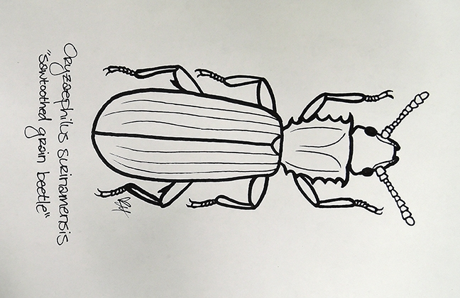 This is a sawtoothed grain beetle, illustrative work of UC Davis student Karissa Merritt.