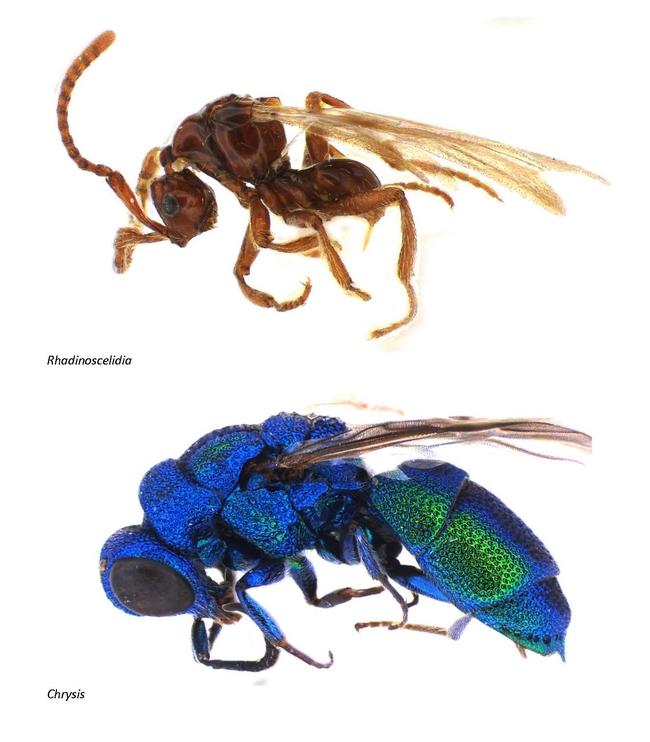 Comparison of Rhadinoscelidia (top) and Chrysididae. (Photo courtesy of Lynn Kimsey)