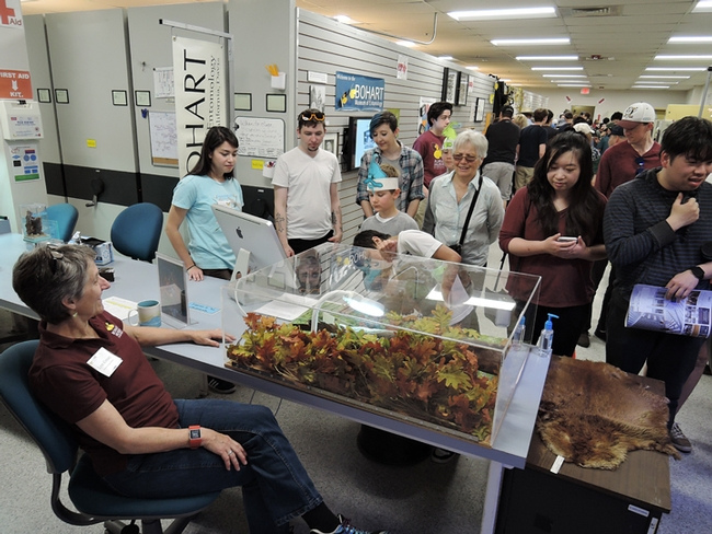A beaver-beetle display at the Bohart Museum drew widespread attention. Beaver butt beetles or Platypsyllus castoris, are ectoparasite on beavers. Here Lynn Kimsey (foreground), director of the museum and professor of entomology, answers  the questions. (Photo by Kathy Keatley Garvey)