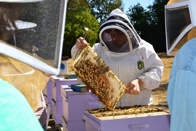Extension apiculturist Elina Lastro Niño,checks a hive at the Harry H. Laidlaw Jr. Honey Bee Research Facility, UC Davis. (Photo by Kathy Keatley Garvey)