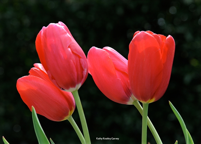 Red tulips symbolize Parkinson's disease. (Photo by Kathy Keatley Garvey)
