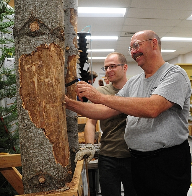 USDA forest research entomologist Steve Seybold (foreground) and UC Davis doctoral student Corwin Parker peel bark to reveal larvae of bark beetles and wood borers. (Photo by Kathy Keatley Garvey)
