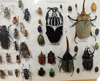 Part of the beetle collection at the Bohart Museum of Entomology. (Photo by Kathy Keatley Garvey)
