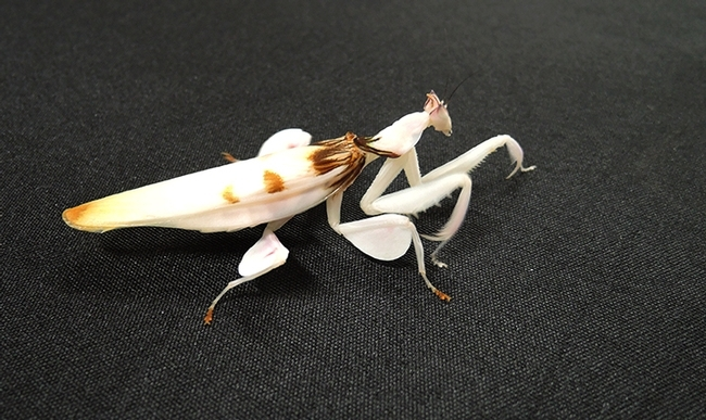 An orchid praying mantis, reared by UC Davis entomology student Lohit Garikipati, who breeds the insects. (Photo by Kathy Keatley Garvey)