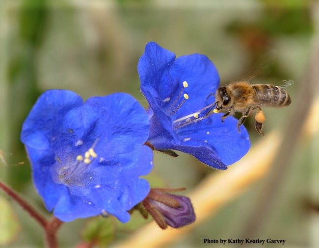 Honey bee heading towrd Phacelia campanularia. (Photo by Kathy Keatley Garvey)