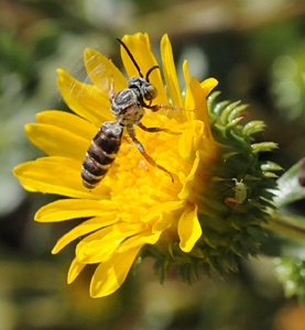 The gum plants in the study drew high numbers of wild bees. Here a cuckoo bee, Triepeolus epeolus, forages on a gum plant. (Photo by Kathy Keatley Garvey)