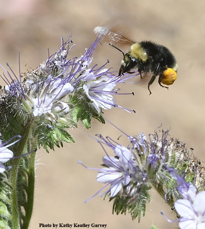 A bumble bee, Bombus vandykei, heading toward Phacelia. (Photo by Kathy Keatley Garvey)