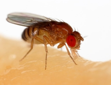 Drosophila melanogaster (Courtesy of Wikipedia)
