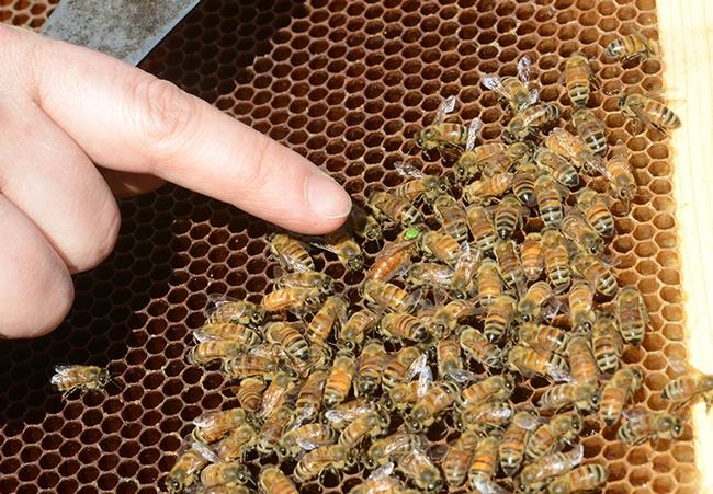 Here's the queen bee! (Photo by Kathy Keatley Garvey)