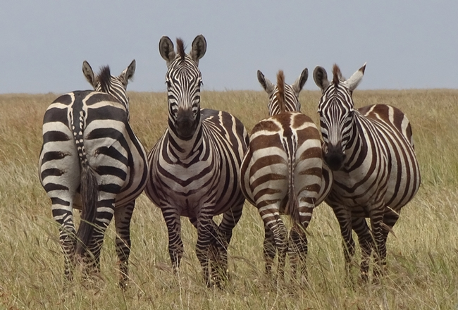 Zebras in Serengeti National Park.   They are watching out for predators. (Photo by Patty Carey)