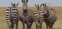 Zebras in Serengeti National Park.   They are watching out for predators. (Photo by Patty Carey) for Entomology & Nematology News Blog
