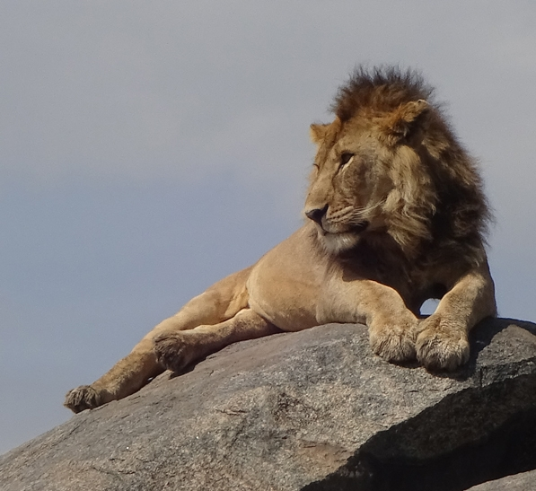 Male African lion sleeping on rock in Serengeti National Park, Tanzania. (Photo by Patty Carey)