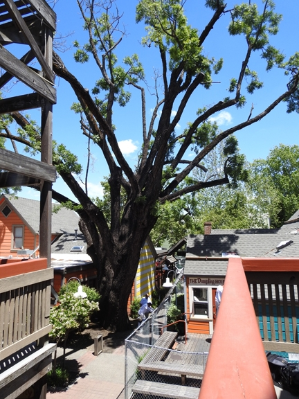 Thousand cankers disease is killing a giant black walnut tree, estimated to be 150 years old, on the 100 block of E Street, Davis. (Photo by Kathy Keatley Garvey)