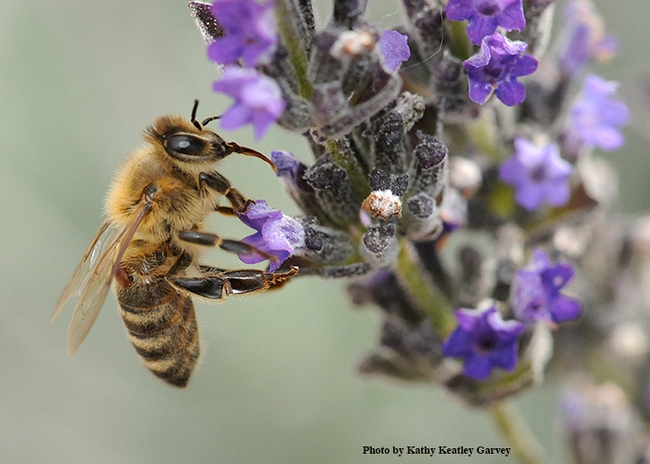 A varroa mite on a forager. This worker bee is nectaring on lavender while the mite is feeding on her. (Photo by Kathy Keatley Garvey).