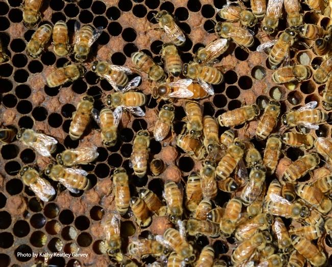 Honey bees will be among the topics of the UC Davis Department of Entomology and Nematology's fall quarter seminars. (Photo by Kathy Keatley Garvey)