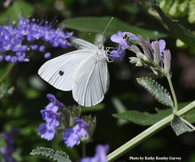A cabbage white butterfly, Pieris rapae, on catmint in Vacaville, Calif. (Photo by Kathy Keatley Garvey)