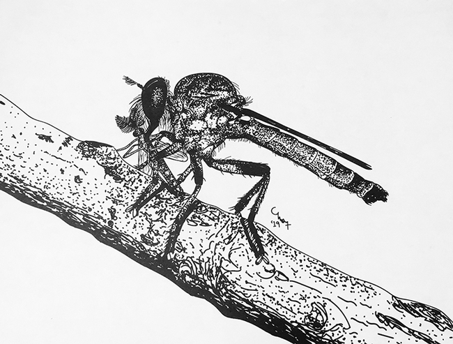 Charlotte Herbert Alberts studies assassin flies and is also a talented artist. This is Ommatius amula with prey.