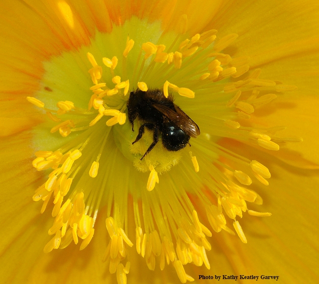 Osmia lignaria foraging on a flower in Vacaville, Calif. (Photo by Kathy Keatley Garvey)