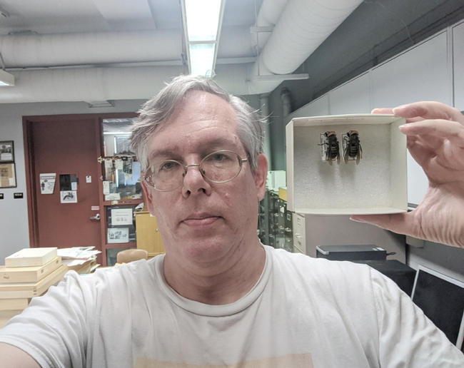 Entomologist Douglas Yanega of UC Riverside was involved in the recent identification of the first-known Asian giant hornets in North America. Here he displays two of the hornets; one is from a colony found and destroyed Sept. 18, 2019 in Nanaimo, Vancouver Island.