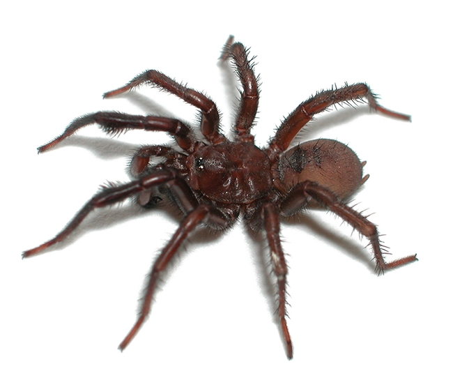 This is a male folding-door spider, Antrodiaetus, the subject of Lacie Newton's research. (Photo courtesy of  Jason Bond)