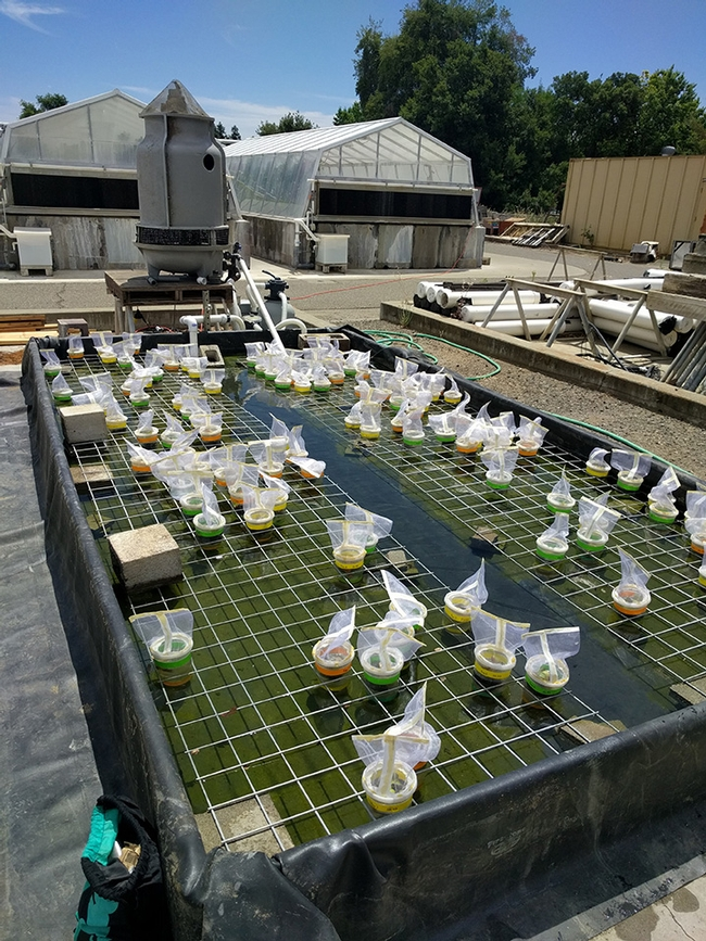 A giant water bath housed Emily Bick's UC Davis research project on water hyacinth and its biological control agent, Neochetina bruchi. It was built by colleagues Danny Klittich and Bob Starnes.