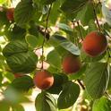 A heritage persimmon tree in Vacaville, Calif. (Photo by Kathy Keatley Garvey)