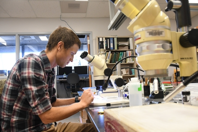 Cooperative Extension specialist Ian Grettenberger at work in his lab in Briggs Hall. (Photo by Kathy Keatley Garvey)