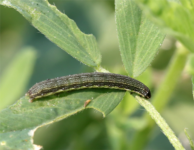 This is a Western yellowstriped armyworm, a pest of alfalfa.