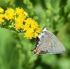 Gray hairstreak butterfly, Strymon melinus, nectaring on goldenrod in the UC Davis Arboretum. (Photo by Kathy Keatley Garvey)