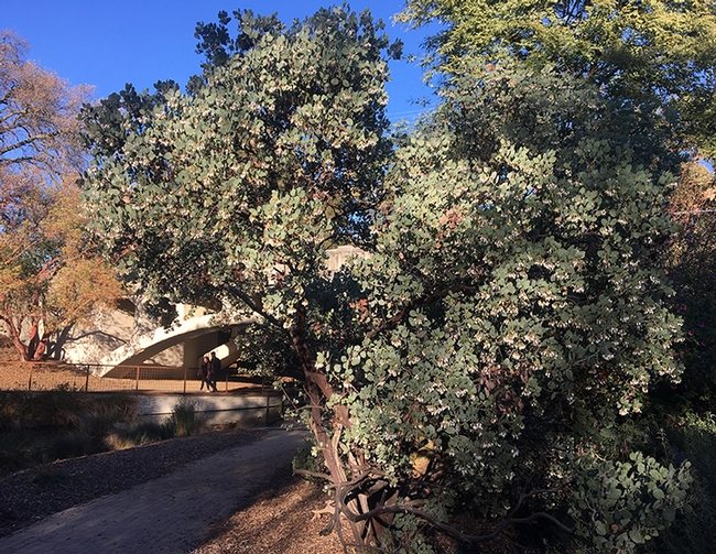This is the site in the UC Davis Arboretum and Public Garden, near Old Davis Road, where UC Davis postdoctoral scholar Charlie Nicholson spotted and photographed a bumble bee nectaring on manzanita. (Photo by Charlie Nicholson)