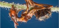 A Zombie ant. (Photo courtesy of Nash Turley) for Entomology & Nematology News Blog