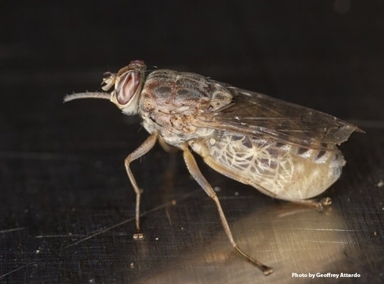 A gravid (pregnant) tsetse fly, Glossina morsitans morsitans.(Photo by Geoffrey Attardo)