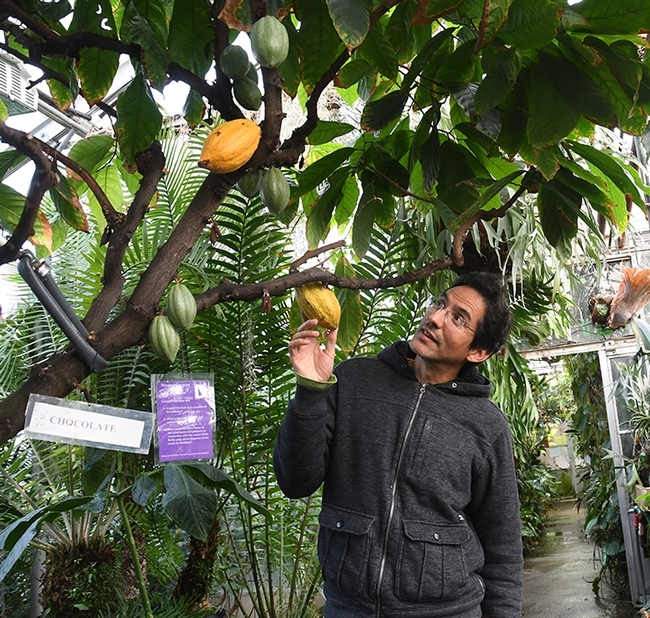 Ernesto Sandoval of the UC Davis Botanical Conservatory, checks out a cacao tree, also known as a