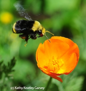 A yellow-faced bumble bee, Bombus Bombus vosnesenskii, foraging on a California golden poppy. (Photo by Kathy Keatley Garvey)