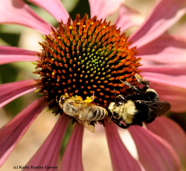 A honey bee and a yellow-faced bumble bee, Bombus vosnesenki, sharing a purple coneflower. Christine Casey, manager of the UC Davis Department of Entomology and Nematology's Häagen-Dazs Honey Bee Haven, will engage in a live question-and-answer session on Tuesday, Feb. 23 from 12:15 to 12:45. (Photo by Kathy Keatley Garvey)