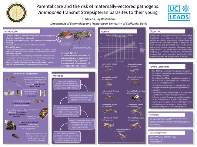 """This is RJ Millena's poster, """"Parental Care and the Risk of Maternally Vectored Pathogens: Ammophila Transmit Strepsipteran Parasites to Their Young,"""" that won top honors in the March 2021 Koret UC LEADS Symposium poster competition."""