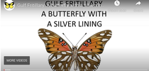 A screen shot of Greg Kareofelas' video on Gulf Fritillaries. for Entomology & Nematology News Blog