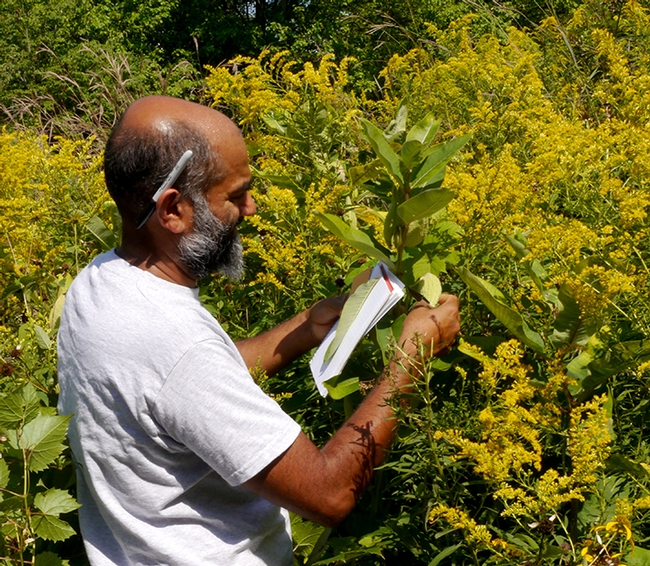 Cornell University Professor Anurag Agrawal collecting milkweed data in Ithaca. He was just elected to the National Academy of Sciences. (Photo courtesy of Cornell)