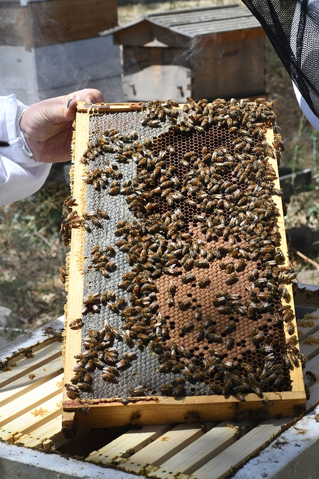 The online course for veterinarians and others who work with bees is aimed at keeping bees healthy. (Photo by Kathy Keatley Garvey)