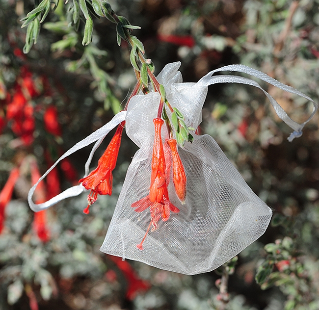 Community ecologist Rachel Vannette's bagged blossoms of California fuchsia in the UC Davis Arboretum and Public Garden led to her discovery of a new species of bacteria, Acinetobacter rathckeae, named for note botanist Beverly Rathcke. (Photo by Kathy Keatley Garvey)