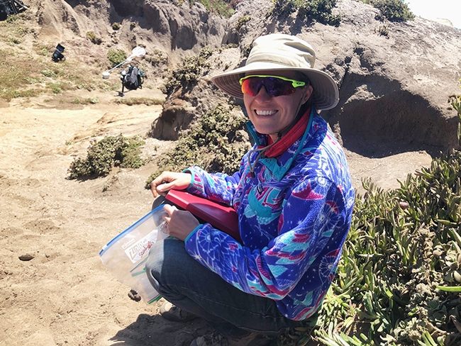 Associate Professor Rachel Vannette is studying the digger bees,  Anthophora bomboides stanfordiana, of Bodega Bay. (Photo by fellow researcher Steve Buchmann)