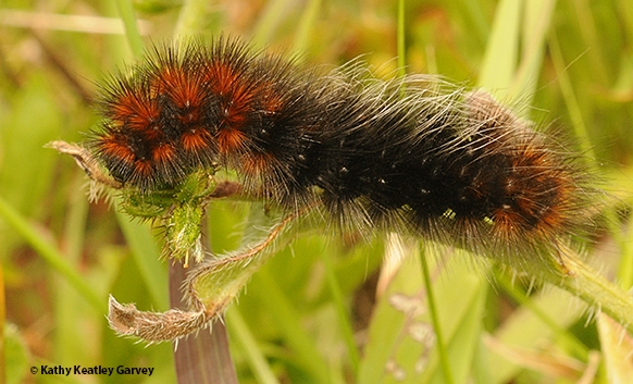 This is the wooly caterpillar that UC Davis distinguished professor Richard