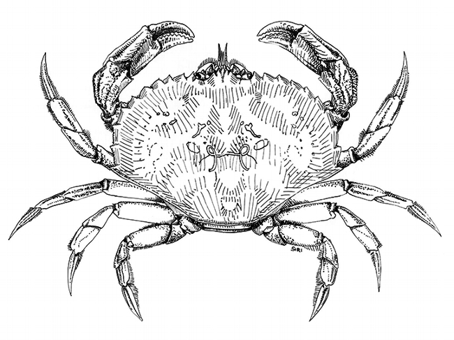 As a high school student Lynn Siri (now Lynn Kimsey) sketched this image of a dungeness crab, Cancer magister, she recorded in the San Francisco Bay. (Illustration by Lynn Siri Kimsey)
