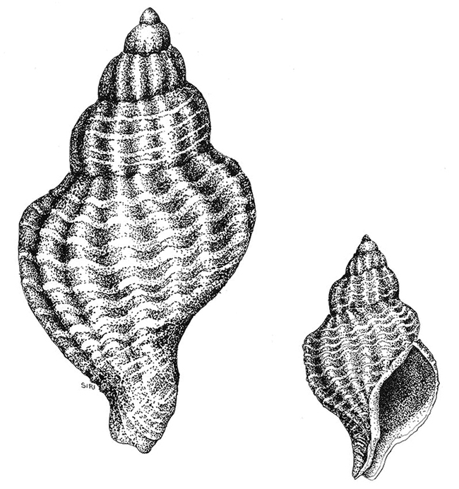 This is the Atlantic oyster drill, Urosalpinx cinerea, a nonnative species that is now common in the San Francisco Bay. (Illustration by Lynn Siri Kimsey)